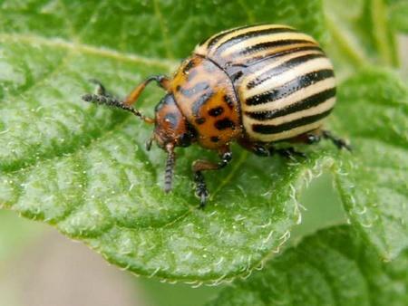 Potager facile les ennemis du jardin potager - Insectes nuisibles du jardin ...