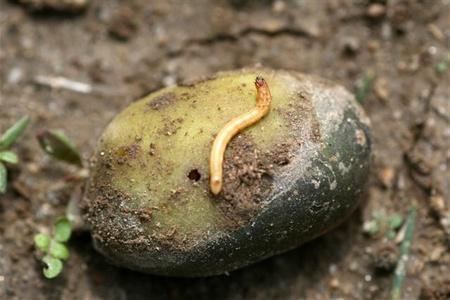Potager facile les ennemis du jardin potager for Purin de fougeres taupin